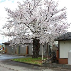 今年もたくさんの桜の花を咲かせてくれました!