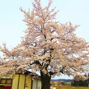 21年目の「奇跡の桜」
