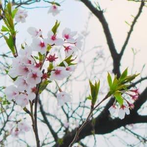 今年もきれいに咲きました。