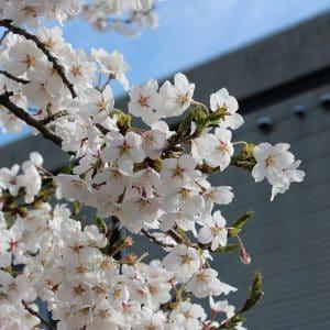 青空に白い桜が良く映えます